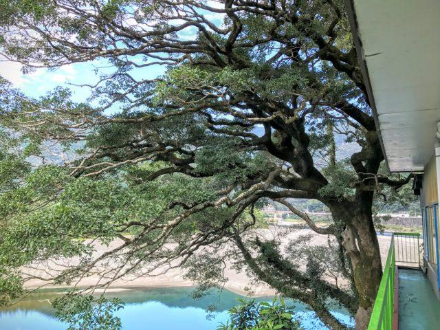 あおぎの木