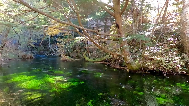 清水橋を渡ると 梅花藻がたくさん咲いていた