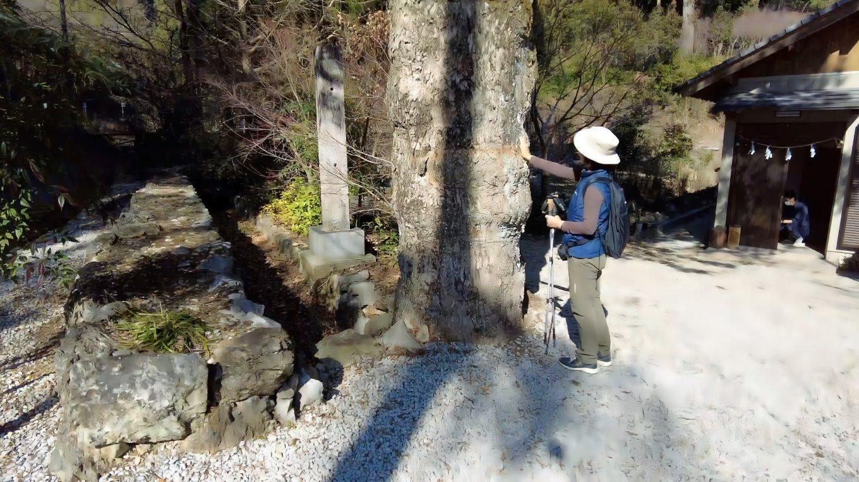 樹齢300年はありそうな楠