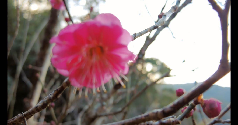 桃がチラホラと開花していた