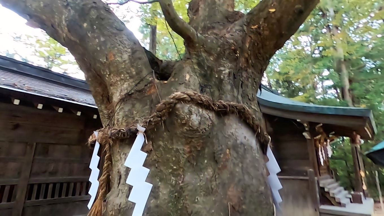 樹齢500年以上の西の欅 けやき