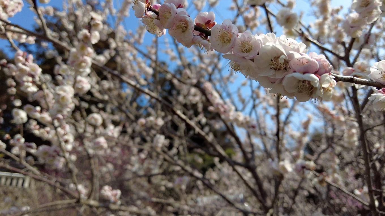 ここは近所では梅の名所として知られる
