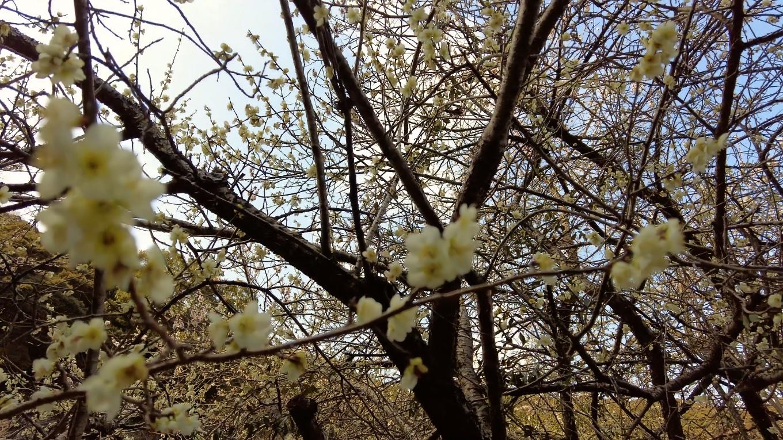 天満宮なので 梅の木がたくさん植えられている