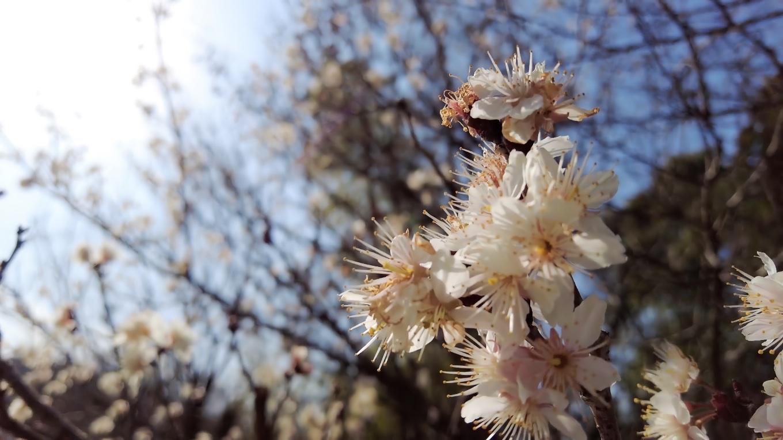 この日は暖かく 桜も咲いてきていた