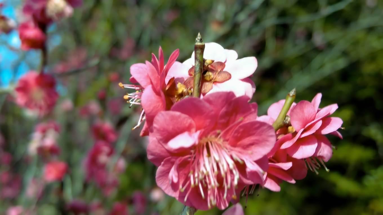 梅の名所で 既に咲き始めていた