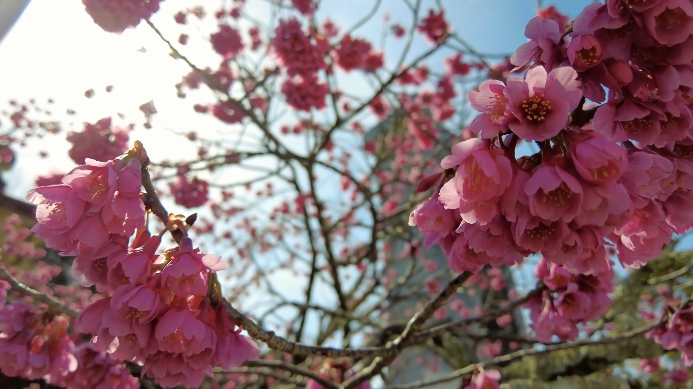 桃の花が満開だ