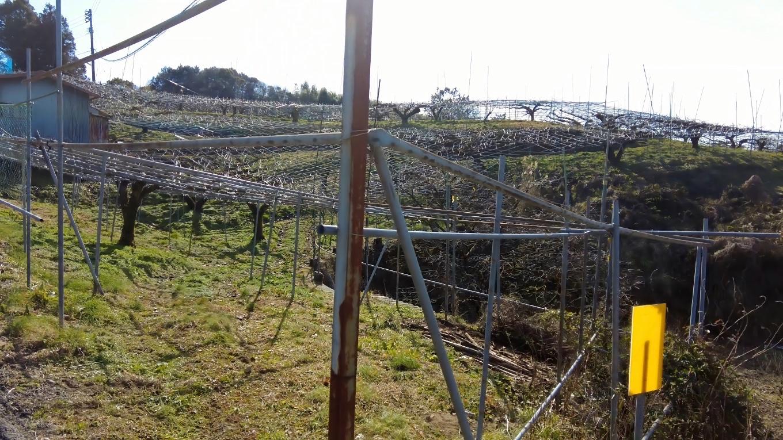 梨畑が広がる