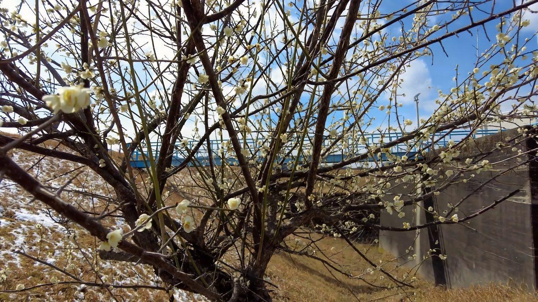 仁淀川桜堤公園 によどがわさくらづつみこうえん を歩いて行く