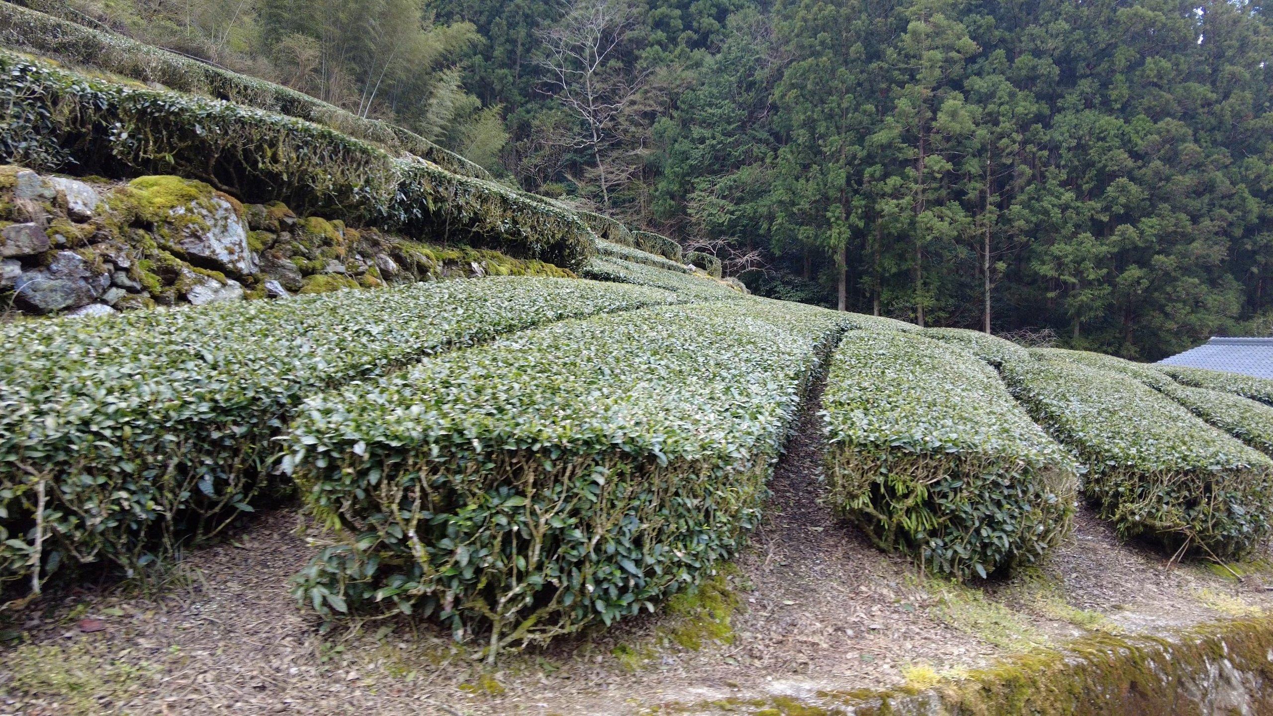 仁淀川町はお茶の産地として有名だ