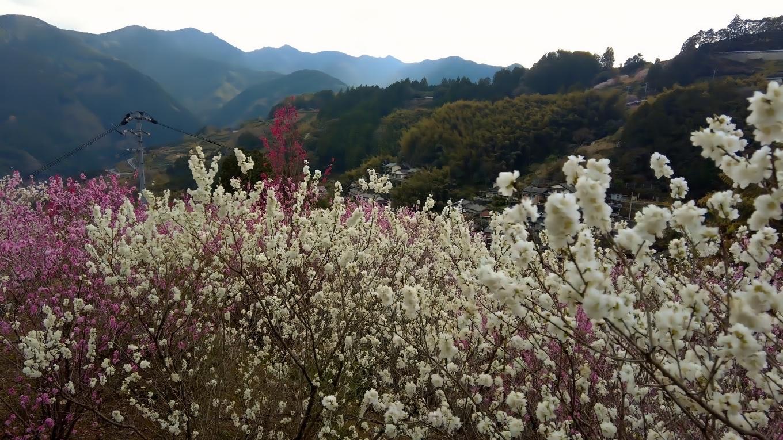 花桃を見ながら 坂道を下りていく