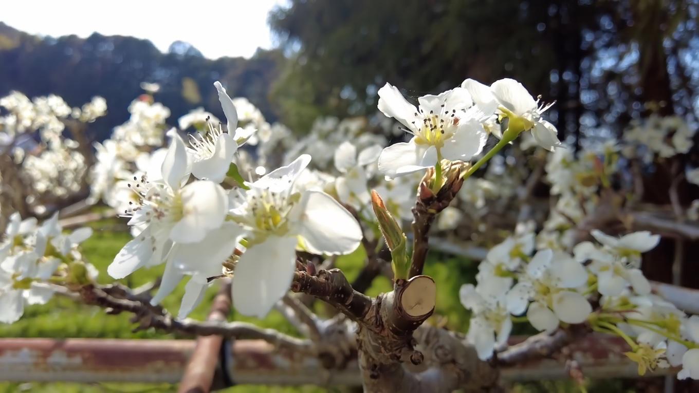 桜だけでなく 梨の花も咲いていた