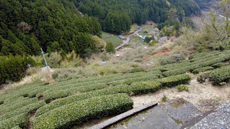 茶畑の中を歩いて行く