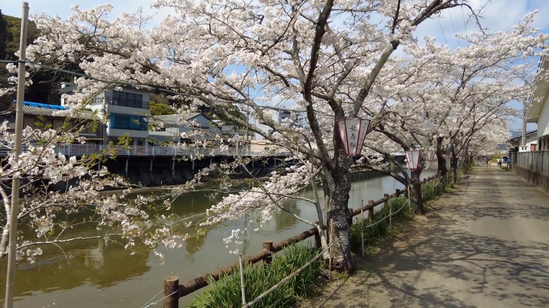 役場から続く春日川沿いの桜が満開だ