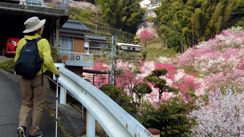 花桃を見ながら坂道を上がっていく