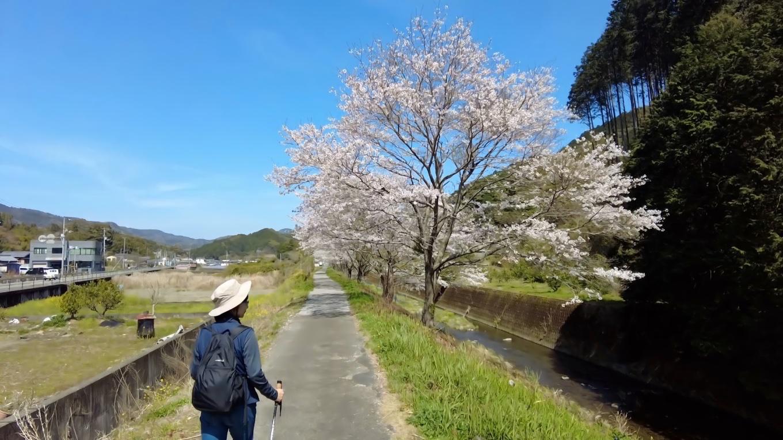 ここは カンナ街道 と呼ばれているが この季節は桜が美しい