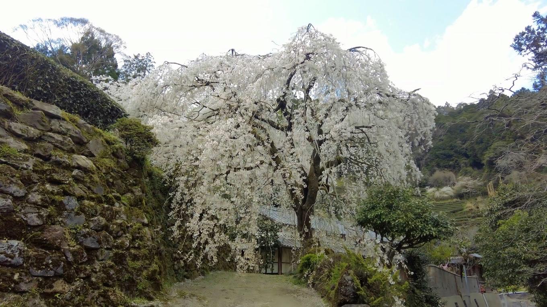 ここに立派なしだれ桜が立っている