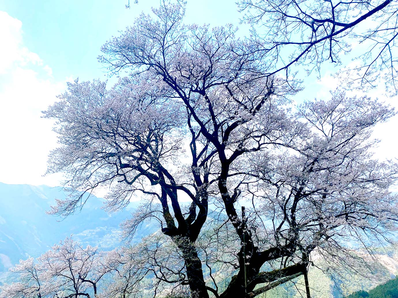 樹高21mの巨木だ