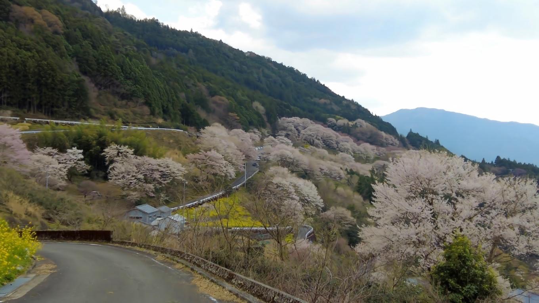 ひょうたん桜が見えてきた