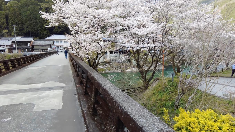 仁淀川町池川の桜