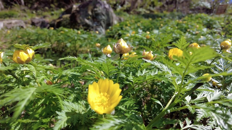 福寿草を見る