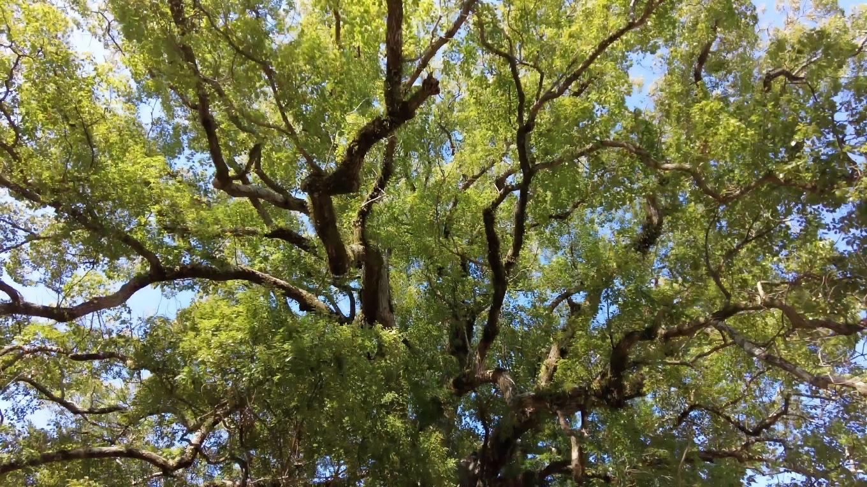 ご神木は樹齢約500年の楠