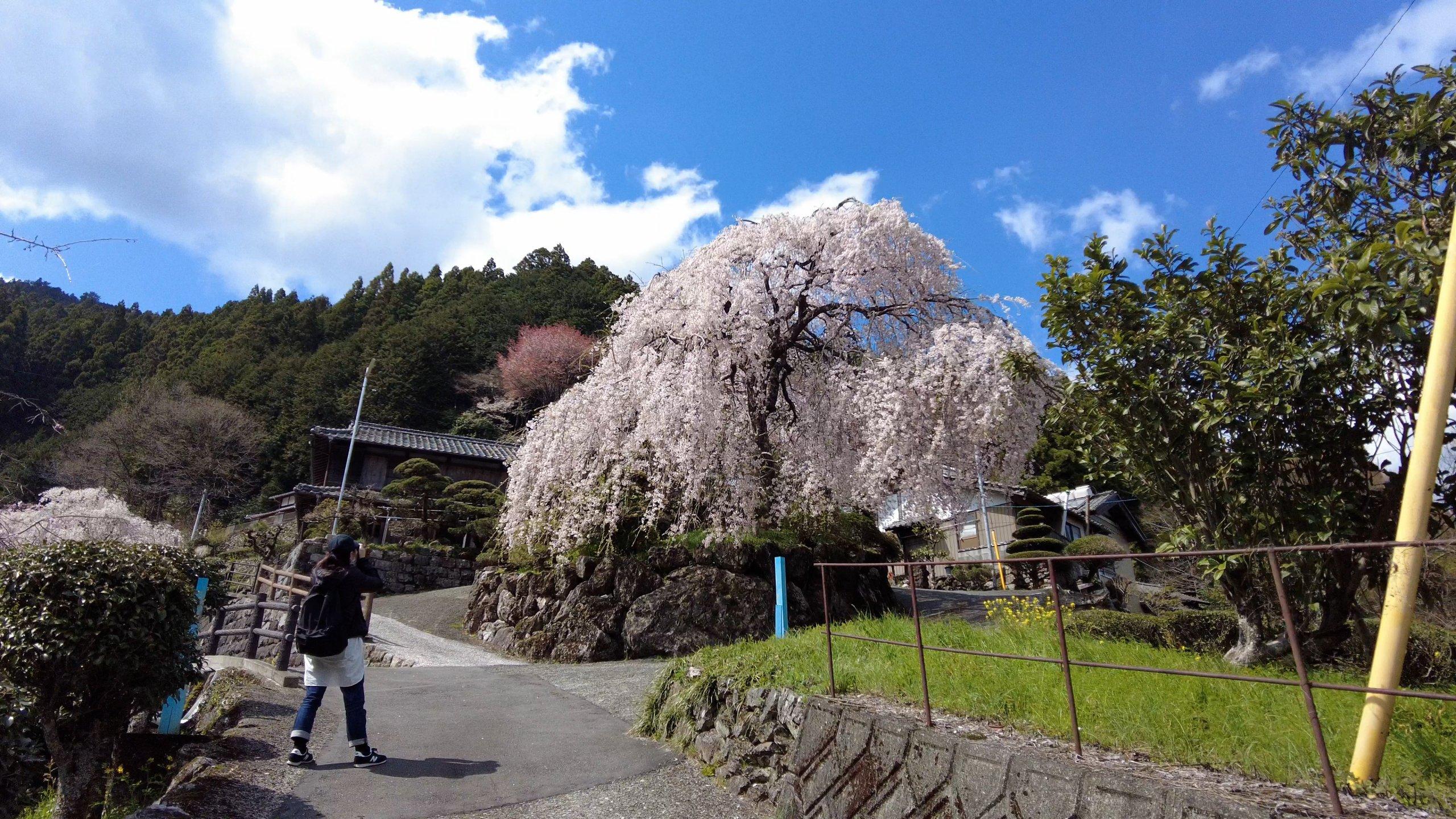 この上に大石家のしだれ桜がある