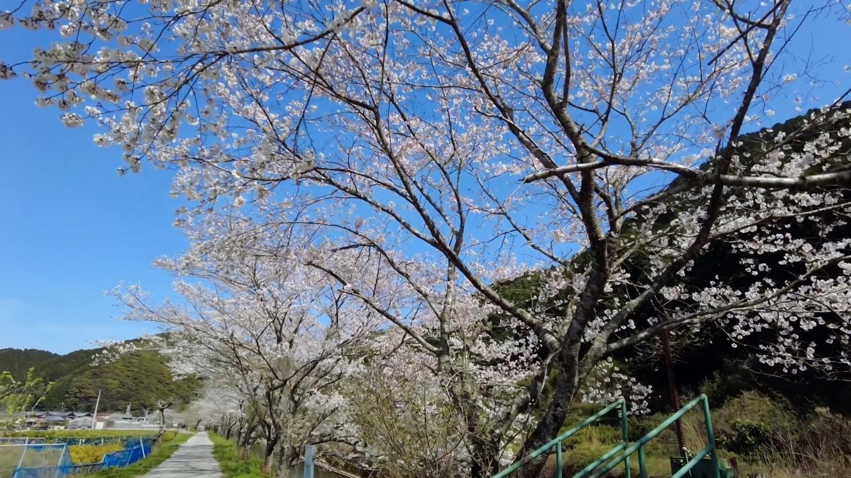 かなり大きな桜の木が並んでいる
