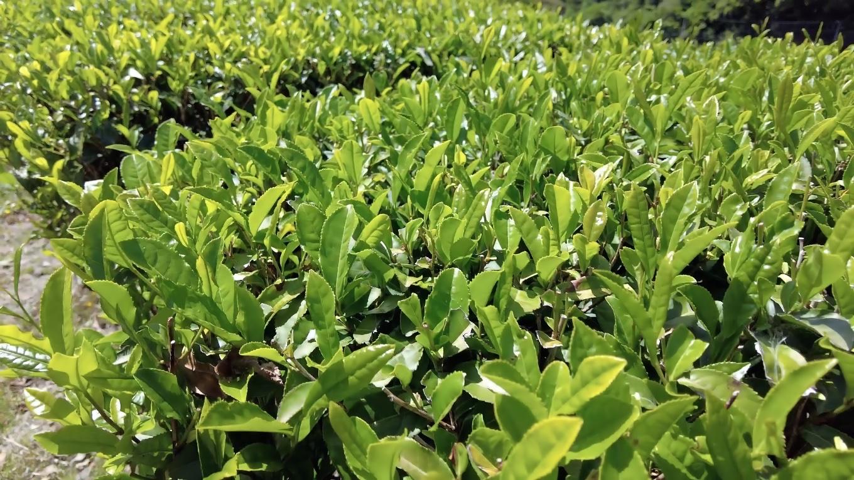 仁淀川町はお茶の産地で ちょうど一番茶の摘み取り時期と言うことでお茶の新芽が美しい