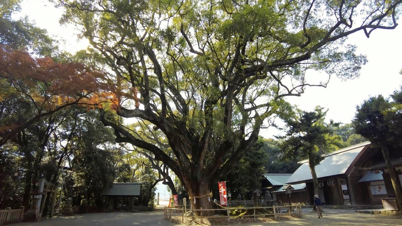 境内に立つご神木の楠は 樹齢700年