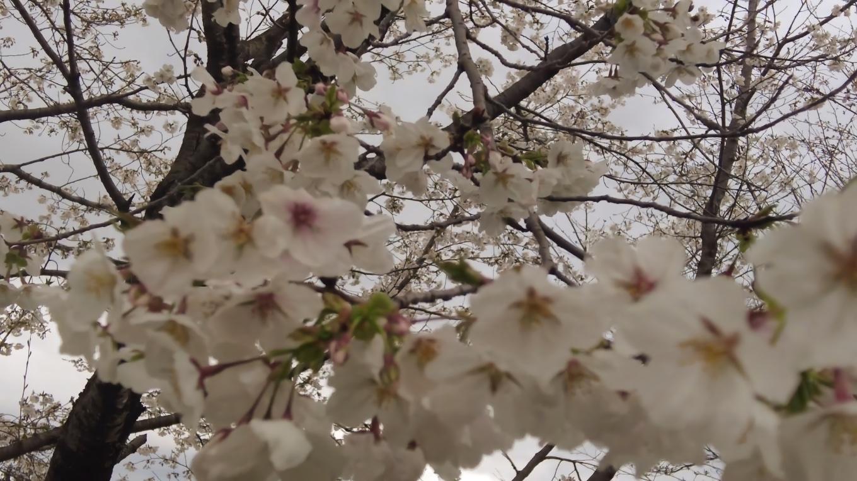 桜もチラホラ咲いてきている