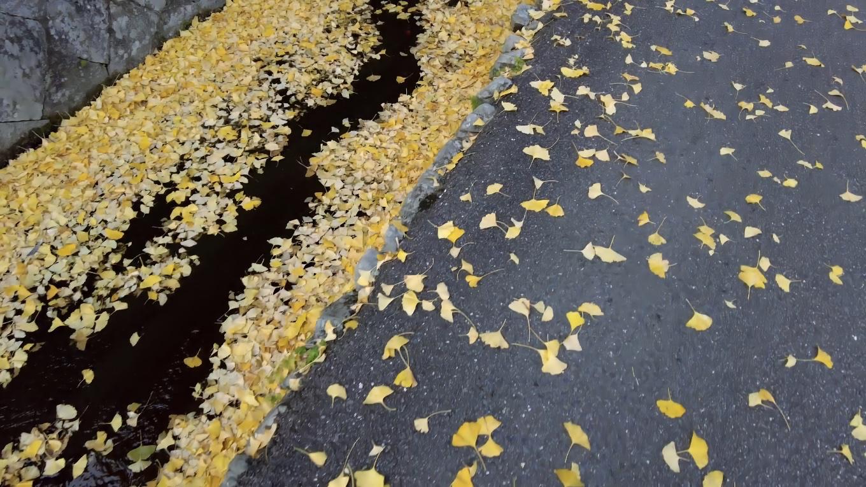 水路に銀杏の葉が積もっている