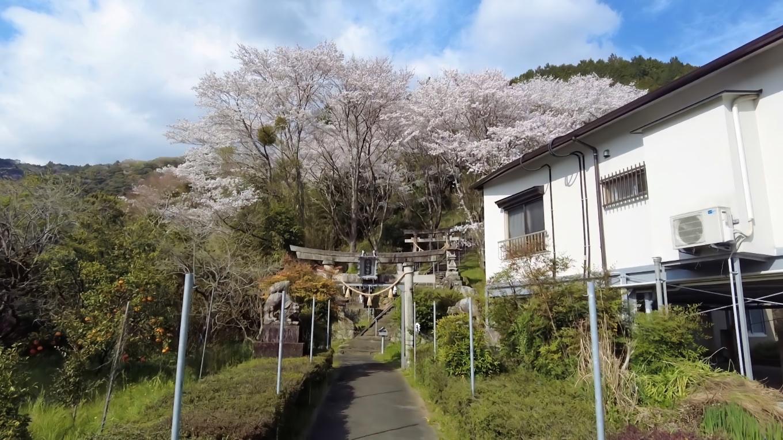 ここの桜は国道33号線を高知市方面に走ると正面に見えて とても印象的だ
