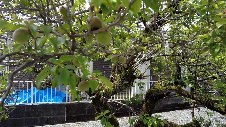 梅の木に梅がたくさん実っていた
