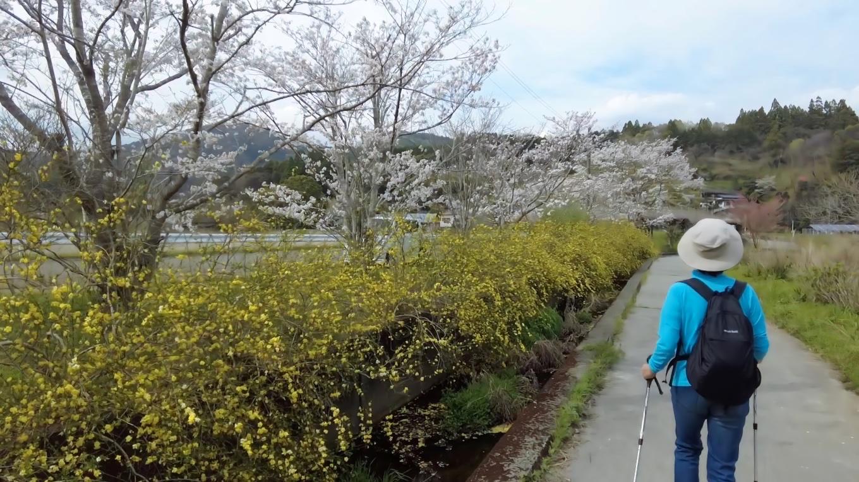 ヤマブキと桜のコントラストがきれいだ
