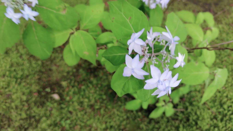 青い花が可愛らしい