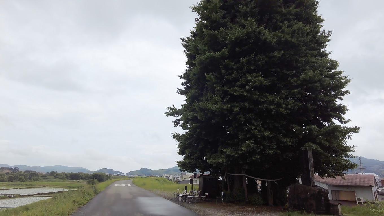 京間の大銀杏まで歩いてきた