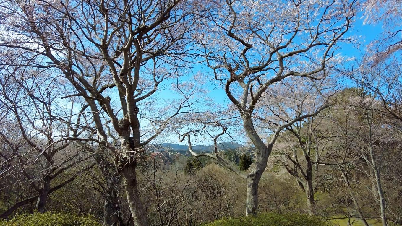 ツツジが咲いているのに 桜は咲きかけ