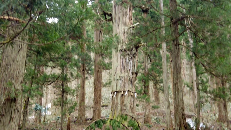 爺杉 じじすぎ は 樹齢1000年以上だそうだ
