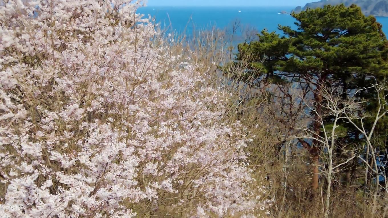 展望台の上からは 満開の桜と海が見渡せた