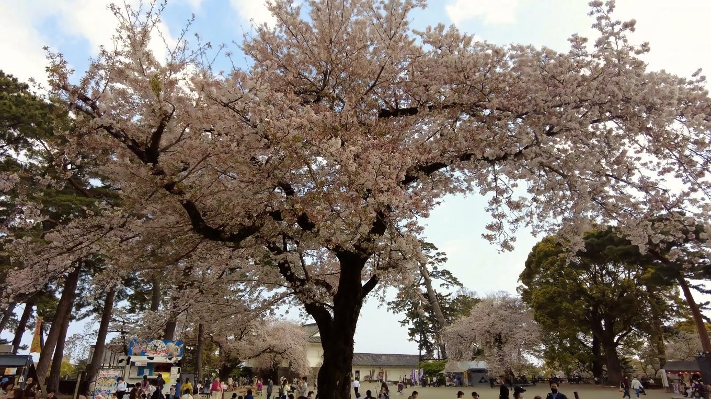 桜が見事だ