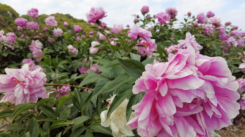 とても華やかな花だ