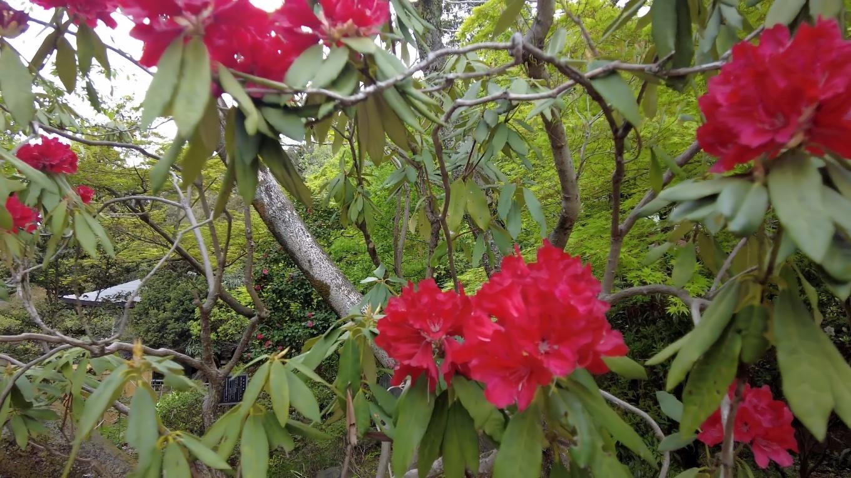 シャクナゲが咲いていた