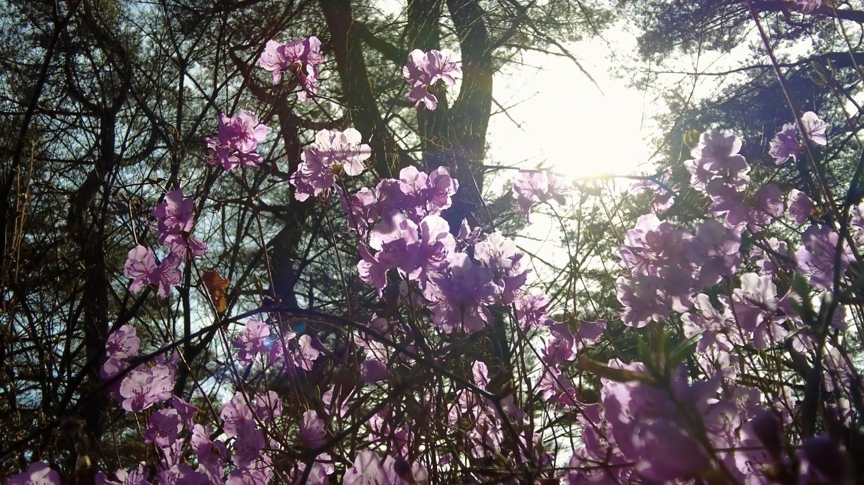 寒いのに ツツジが咲いていた