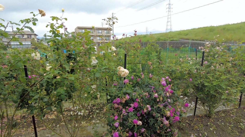 バラが咲いていた