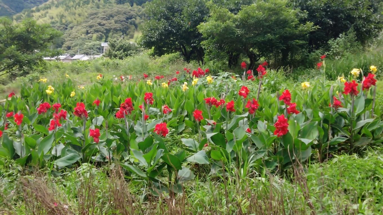 畑にはカンナが咲いていた