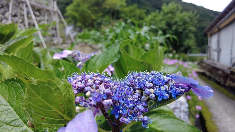 浅尾沈下橋の紫陽花