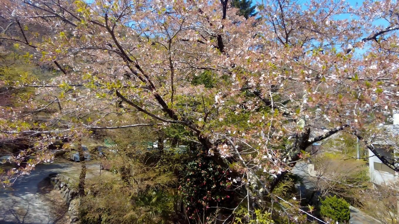 桜はもうほぼ散ってしまっていた
