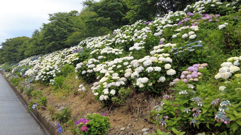 白いアジサイは アナベル という品種が有名
