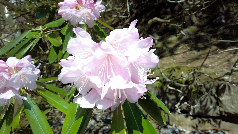 この日はとても寒かったが シャクナゲが咲いていた