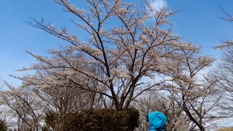 桜はきれいなのだが 雪が降ってメチャメチャ寒い